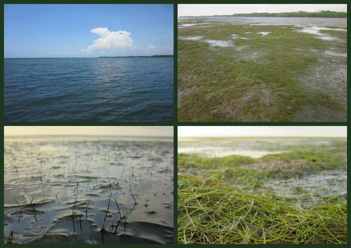 The seagrass bed shows itself when the tide is low