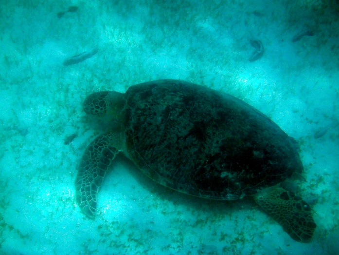P15F, a female adult green turtle first seen feeding in 2012