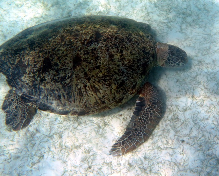 One year after, it was seen around Perhentian Islands with tags at its front flippers